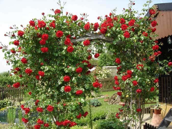 Klettergerüst Rosen : Sichtschutz mit kletterpflanzen: aber welchen?